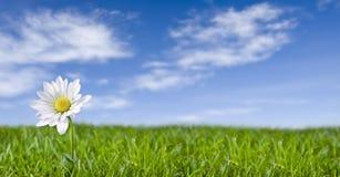 Solitary daisy. Stock Image
