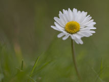 A solitary daisy on a green bokeh background. Royalty Free Stock Photos