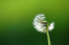 Solitary dandelion. On green background Stock Photo