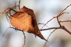 Free Solitary Dead Leaf Stock Photo - 99954410