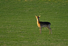 Solitary Deer: Fallow Buck Fawn. Royalty Free Stock Photos