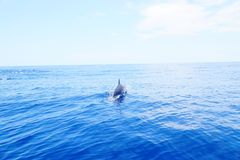Solitary Dolphins in the ocean having fun under the sun royalty free stock images