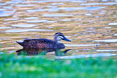 Solitary Duck. A duck swimming alone in a pond Royalty Free Stock Photos