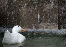 A solitary duck under a waterfall royalty free stock photo