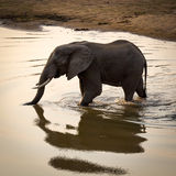 Solitary elephant crossing water Royalty Free Stock Photo