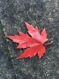Solitary fall colored leaf. Found on the sidewalk Royalty Free Stock Image