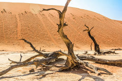 Deadvlei Namibia. Deadvlei (or Dead Vlei ), a depression characterized by a layer of white sand located about 2 km by road from Sossusvlei. Namib-Naukluft Royalty Free Stock Images