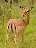 Solitary female impala stock images