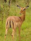 Solitary female impala Stock Images