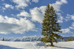 Solitary fir trees during winter Stock Photos