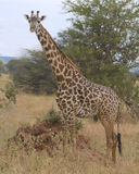 Solitary giraffe Royalty Free Stock Image