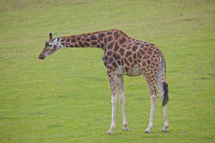 Solitary Giraffe Stock Photos