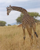 Solitary giraffe Royalty Free Stock Photos