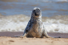 Solitary grey seal sitting up on the beach. Royalty Free Stock Photos