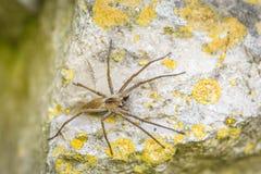 Solitary hobo spider - Tegenaria agrestis. On a rock royalty free stock photo