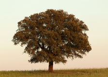 Solitary holm oak rounded of fog Stock Photo