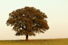 Solitary holm oak rounded of fog Stock Images