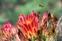A solitary honey bee Apis millifera hovering above a fishhook Royalty Free Stock Photos