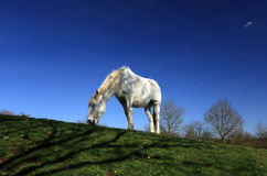 Solitary horse in field with blue sky background. Solitary horse in field with blue sky Stock Images