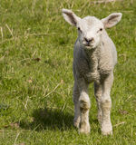 Solitary lamb in field in spring Royalty Free Stock Image