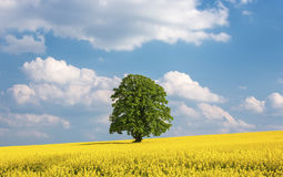 Solitary large tree in a yellow rapeseed field Royalty Free Stock Photography