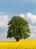 Solitary large tree in a yellow rapeseed field Stock Images