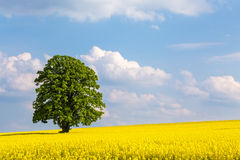 Solitary large tree in a yellow rapeseed field Royalty Free Stock Images
