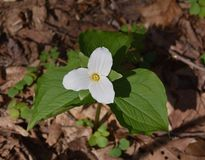 A solitary large white trillium plant emerging in a spring forest. Detail of a solitary large white trillium plant, Trillium grandiflorum, emerging in a spring Royalty Free Stock Photography