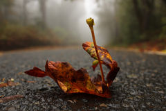 Solitary Leaf on Foggy Road Stock Images