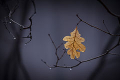 Solitary Leaf. A solitary late November leaf hanging in the rain Royalty Free Stock Photos