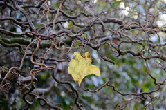 Solitary leaf on naked branches Stock Images