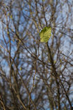 Solitary leaf on a twig Stock Images