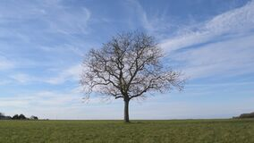 Solitary leafless tree in green field on background of blue sky. Solitary leafless tree in green field on background of vibrant blue sky with white cirrus clouds stock video footage