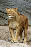Solitary Lion Royalty Free Stock Photos