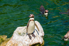 Solitary Magellanic Penguin On A Rock Surrounded By Water Stock Photos