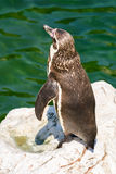 Solitary Magellanic Penguin On A Rock Surrounded By Water Royalty Free Stock Photo