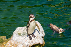 Solitary Magellanic Penguin On A Rock Surrounded By Water Stock Image