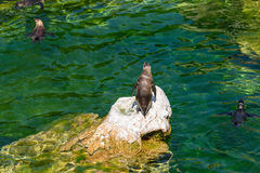Solitary Magellanic Penguin On A Rock Surrounded By Water Stock Photography