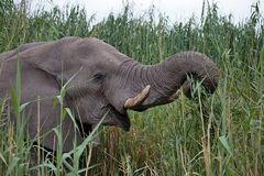 Solitary male African elephants feed on reeds, Etosha, Namibia Stock Photos