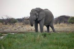 Solitary male African elephants feed on reeds, Etosha, Namibia Stock Photos