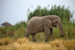 Solitary male African elephants feed on reeds, Etosha, Namibia Royalty Free Stock Photos