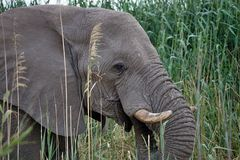 Solitary male African elephants feed on reeds, Etosha, Namibia Royalty Free Stock Image