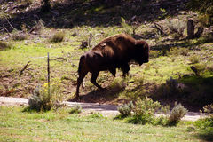 Solitary male bison Stock Images