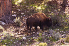 Solitary male bison Royalty Free Stock Photography