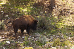 Solitary male bison Royalty Free Stock Images