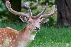 A solitary male fallow deer. Stares ahead as flies buzz around its head royalty free stock image