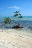 Solitary Mangrove Tree Royalty Free Stock Images