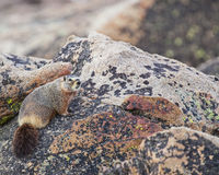 Marmot in rocks. The solitary marmot hides in the rocky hillside royalty free stock photo
