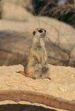 A Solitary Meerkat. An anxious Meerkat posing in a desert Royalty Free Stock Image