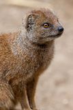 A Solitary Mongoose Stock Image